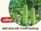 दुधी भोपळ्याने ग्लो करेल स्किन, जाणुन घ्या याचे 10 फायदे...|जीवन मंत्र,Jeevan Mantra - Divya Marathi