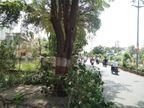 प्रचारासाठी झाडांचा बळी! मुख्यमंत्र्यांच्या महा जनादेश यात्रेसाठी बारामतीत ढेरेदार झाडांवर कुऱ्हाड|पुणे,Pune - Divya Marathi