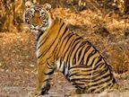 ત્રણ વાઘ હોવાની વાત ખોટી, 10 નાઈટ વિઝન કેમેરા લગાવ્યાઃ વન વિભાગ| - Divya Bhaskar