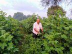 પ્રગતિશિલ ખેડૂતે છાણીયું ખાતર અને ગૌમૂત્રનો જંતુનાશક તરીકે ઉપયોગ કરીને કપાસની સાત્વિક ખેતી કરી| - Divya Bhaskar