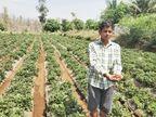 ડાંગ જિલ્લામાં સ્ટ્રોબેરીની ખેતી કરતા અનેક ખેડૂતોને રડવાનો વારો આવ્યો, નિકાસબંધીથી લાખોની સ્ટ્રોબેરી કોહવાઇ ગઇ|સાપુતારા,Saputara - Divya Bhaskar