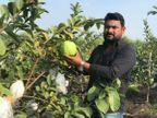 લાખોની નોકરી છોડીને ઓર્ગેનિક જામફળની ખેતી શરૂ કરી, એક સિઝનમાં 12 લાખ રૂપિયાની કમાણી, 5 લોકોને રોજગારી પણ આપી|ઓરિજિનલ,DvB Original - Divya Bhaskar