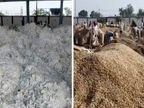 રાજકોટ માર્કેટ યાર્ડમાં મગફળી અને કપાસની બમ્પર આવક, મગફળીના 900થી 1050 અને કપાસના 1155 ભાવ બોલાયા|રાજકોટ,Rajkot - Divya Bhaskar