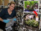 પહેલી વખત અંતરિક્ષમાં મૂળાનો પાક ઉગાડવામાં આવ્યો, 2021માં તેને પૃથ્વી પર લાવવામાં આવશે; નાસાએ ફોટો શેર કર્યો|લાઇફસ્ટાઇલ,Lifestyle - Divya Bhaskar