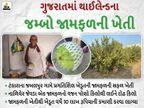 ક્યાંય જોયું છે દોઢ કિલોનું જામફળ? ટંકારાના જબલપુરમાં ખેડૂત 26 વીઘા જમીનમાં વર્ષે 35 ટન જામફળ ઊતારી કરે છે રૂ.10 લાખની કમાણી ઓરિજિનલ,DvB Original - Divya Bhaskar