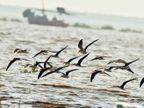 ભાવનગરમાં મળ્યા ઈન્ડિયન સ્કીમર જાતિના 45 પક્ષી, ચંબલમાં બ્રીડ કરતા 2000 માંથી 200 પક્ષીઓ જામનગર ખાતે, બાકીના રેકોર્ડ વિહોણા|ભાવનગર,Bhavnagar - Divya Bhaskar
