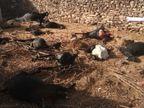 જસદણના ખડવાવડી ગામમાં વાડાની 6 ફૂટ ઉંચી દીવાલ કૂદી દીપડો અંદર ઘૂસ્યો, 15 બકરાને મોતને ઘાટ ઉતાર્યા અને 1નું મારણ કર્યુ|રાજકોટ,Rajkot - Divya Bhaskar