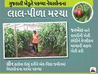ઓલપાડના પ્રગતિશીલ ખેડૂતનો નવતર પ્રયોગ, નેધરલેન્ડનાં રંગબેરંગી કેપ્સિકમ મરચાંની સફળ ખેતી કરી, 30 લાખનું રોકાણ અને વર્ષે 5 લાખનું ઉત્પાદન|ઓરિજિનલ,DvB Original - Divya Bhaskar