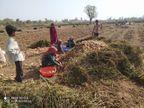 અમીરગઢ તાલુકામાં દેશી બટાકાની ખેતી તો થઇ પણ ભાવ ના મળતા ખેડૂતો મુંઝવણમાં મુકાયા|પાલનપુર,Palanpur - Divya Bhaskar