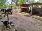 વિજાપુરના કોટ ગામમાં ધોળે દહાડે તબેલામાંથી બે ગાયો તસ્કરો ઉઠાવી ગયા|વિજાપુર,Vijapur - Divya Bhaskar