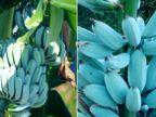 તમે ક્યારેય વાદળી કલરના કેળા જોયા છે? તેનો સ્વાદ અને ખાસિયત જાણીને મોંમાં પાણી આવી જશે|લાઇફસ્ટાઇલ,Lifestyle - Divya Bhaskar