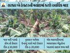 વાવાઝોડાથી નુકસાન પામેલા પાક માટે ખેડૂતોને માત્ર 'નામ'ની જ સહાય, હેકટરદીઠ 28 લાખનું નુકસાન અને સરકાર માત્ર 1 લાખ ચૂકવશે|અમદાવાદ,Ahmedabad - Divya Bhaskar