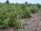 તાઉતે પછી ખેડૂતોને સરકારનો માર; સહાય નહીં મળે સુરેન્દ્રનગર,Surendranagar - Divya Bhaskar