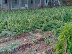 વરસાદ-વાવાઝોડાથી જિલ્લામાં 31,945 હેકટરમાં ખેતી-બાગાયતી પાકોને નુકશાન|ભાવનગર,Bhavnagar - Divya Bhaskar