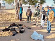 हुडास में मिले 11 मृत मोर, विशेषज्ञ बोले- प्रारंभिक जांच में बर्ड फ्लू जैसे लक्षण नहीं|नागौर,Nagaur - Dainik Bhaskar