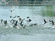 लिटिल कोरमोरेंट पक्षी मछलियों का करते हैं शिकार|भिंड,Bhind - Dainik Bhaskar