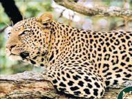 माैसम बदलने के साथ शहरी क्षेत्रों में बढ़ा वन्यजीवों का मूवमेंट अजमेर,Ajmer - Dainik Bhaskar