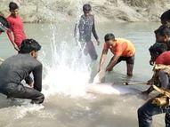 UP के प्रतापगढ़ में लाठी-डंडों और कुल्हाड़ी से डॉल्फिन को मारा; वीडियो वायरल होने पर 3 गिरफ्तार इलाहाबाद,Allahabad - Dainik Bhaskar