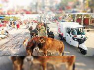 लावारिस पशुओं से बना रहता हादसे का खतरा|जीरकपुर,Zirakpur - Dainik Bhaskar