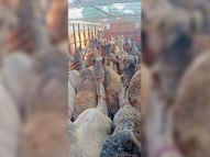 ऊंटों को यूपी लेकर जा रहे थे, संगठन की मदद से पुलिस ने मुक्त करवाए, 5 आरोपियों पर मामला दर्ज|हिसार,Hisar - Dainik Bhaskar