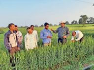 गेहूं की फसल में फाैजी कीट की इल्लियां लगने का खतरा, ग्रोथ पर पड़ रहा असर|होशंगाबाद,Hoshangabad - Dainik Bhaskar