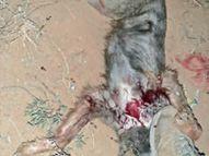 वन्य जीव ने किया कुत्ते पर हमला, दहशत में ग्रामीण|सीकर,Sikar - Dainik Bhaskar