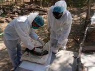 बर्ड फ्लू से नहीं हुई 11 मोरों की मौत, भोजन नली में अटक गए थे अनाज के जहरीले दाने|नागौर,Nagaur - Dainik Bhaskar