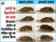 जीन थैरेपी देने के बाद पैरालिसिस से जूझ रहा चूहा दो हफ्ते में चलने लगा, इंसानों पर ट्रायल की उम्मीद लाइफ & साइंस,Happy Life - Dainik Bhaskar