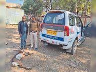 टुकराना-चौंसला के जंगल में मिला घायल काला हिरण शाजापुर (उज्जैन),Shajapur (Ujjain) - Dainik Bhaskar