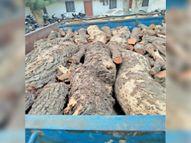 खेजड़ी की 100 क्विंटल लकड़ी से भरी पिकअप जब्त, दो गिरफ्तार करौली,Karauli - Dainik Bhaskar