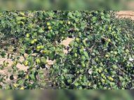 महाराष्ट्र से आए फलदार पौधे अब रेतीली भूमि पर दे रहे हैं सिंदूरी अनार|कल्याणपुर,Kalyanpur - Dainik Bhaskar
