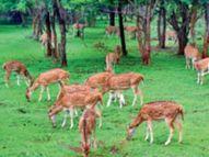 जंगल सफारी-नंदनवन में हिरण तेजी से बढ़े, अब 100 को हटाकर दूसरी जगह करेंगे शिफ्ट|रायपुर,Raipur - Dainik Bhaskar