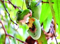 आम के खट्टे-मीठे स्वाद में छिपा है पूरी दुनिया का दर्शन|रसरंग,Rasrang - Dainik Bhaskar