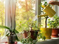 घर को सजाएंगे और ठंडा भी रखेंगे ओवरसाइज्ड हाउस प्लांट्स, लॉबी में लगाएं पॉटेड बैंबू और जहां धूप आती हो वहां रखें रबर ट्री प्लांट|लाइफस्टाइल,Lifestyle - Dainik Bhaskar