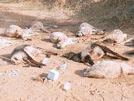 बाड़े में चर रही भेड़े मरी, जहरीले पदार्थ खाने के बाद पानी पीने से मौत की आशंका नागौर,Nagaur - Dainik Bhaskar