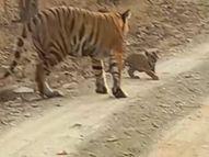 टाइगर रिजर्व की पहली बाघिन की बेटी पी-151 ने दो बाघ शावकों को दिया जन्म, पहली बार वीडियो आया सामने|सागर,Sagar - Dainik Bhaskar
