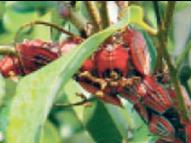 लीची काे नुकसान पहुंचा रहे हैं स्टिंक बग कीट बेहतर फल के लिए तत्काल उपचार करें किसान|मुजफ्फरपुर,Muzaffarpur - Dainik Bhaskar