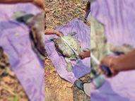 रेस्क्यू के बाद तालाब में रखे गए 60 साल के कछुए की असाइटिस से मौत रायगढ़,Raigarh - Dainik Bhaskar