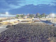 खरीद एजेंसियाें और ठेकेदार की लापरवाही से जिले में फिर भीग गया लाखों टन गेहूं|हिसार,Hisar - Dainik Bhaskar