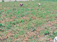 खेतों में खराब हो रही सब्जियां, कर्ज में डूब रहे किसान|बिलासपुर,Bilaspur - Dainik Bhaskar