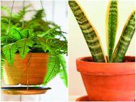 घर की हवा को शुद्ध करने के लिए लगाएं ये इंडोर प्लांट्स|मधुरिमा,Madhurima - Dainik Bhaskar
