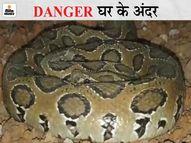 भिलाई में एक घंटे की मशक्कत के बाद पकड़ा गया विश्व का तीसरा सबसे जहरीला सांप; राजनांदगांव के जंगल में छोड़ा|भिलाई,Bhilai - Dainik Bhaskar