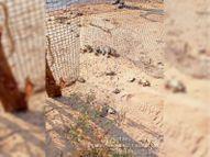 कछुओं की नेस्टिंग के लिए चार हैचरियां बनाई, 3 हजार अंडाें से 600 कछुए निकले|कोटा,Kota - Dainik Bhaskar