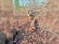 पांडुका रेंज में कीमती पेड़ों की अवैध कटाई जोरों पर|छुरा,Chhura - Money Bhaskar