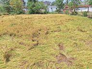बारिश व ओलों से झड़ गईं धान की बालियां, 196 हेक्टेयर की फसल हुई बर्बाद|कांकेर,Kanker - Money Bhaskar