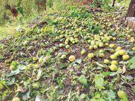 करसाेग और शिमला में ओलावृष्टि से बागवानों को भारी नुकसान|शिमला,Shimla - Dainik Bhaskar