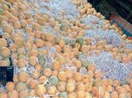 फल का दूसरा सीजन भी खराब...बिक न पाने से संतरा, चीकू, अंगूर सड़ने लगे|सागर,Sagar - Dainik Bhaskar