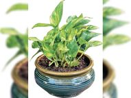 बेडरूम में लगाए ऑक्सीजन बढ़ाने वाले हर्बल प्लांट, 20% बढ़ी पौधों की डिमांड भोपाल,Bhopal - Dainik Bhaskar