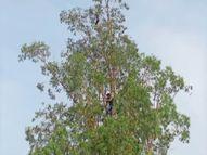 60 फुट ऊंचे सफेदे पर चाइनीज डोर में फंसा कौवा, फायरमैन ने बचाया|अम्बाला,Ambala - Dainik Bhaskar