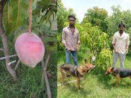 MP के किसान ने 2.5 लाख रु. किलो कीमत वाले आम लगाए, इनकी सुरक्षा में 4 गार्ड और 6 कुत्ते तैनात|देश,National - Money Bhaskar